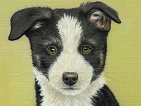 Draw a Border Collie Puppy Using Pastel Pencils - Product Image
